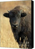 Bison Canvas Prints - Bison Glance Canvas Print by John Blumenkamp
