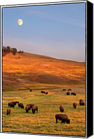 Grazing Canvas Prints - Bison Grazing On Hill At Hayden Valley Canvas Print by Sankar Raman