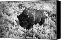 Bison Canvas Prints - Bison in Black and White Canvas Print by Sebastian Musial