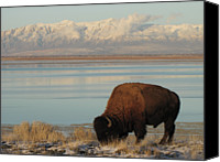 Grazing Canvas Prints - Bison In Front Of Snowy Mountains Canvas Print by Mathew Levine