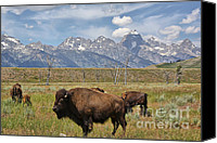 Bison Canvas Prints - Bison in Grand Tetons Canvas Print by Teresa Zieba