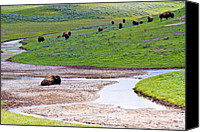 Bison Canvas Prints - Bison in Hayden Valley Canvas Print by Adam Pender