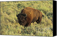 Grazing Canvas Prints - Bison Canvas Print by Sebastian Musial