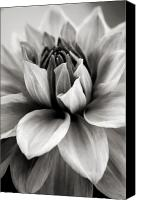Flower Canvas Prints - Black and White Dahlia Canvas Print by Danielle Miller