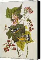 Ornithology Canvas Prints - Black And Yellow Warbler Canvas Print by John James Audubon