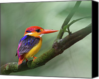 Freshwater Canvas Prints - Black-backed Kingfisher Canvas Print by Copyright by David Yeo
