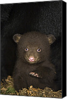 Black Bear Cubs Canvas Prints - Black Bear 7 Week Old Cub In Den Canvas Print by Suzi Eszterhas