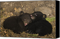 Black Bear Cubs Canvas Prints - Black Bear Cubs Playing In Den Canvas Print by Suzi Eszterhas