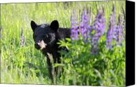 Lupines Canvas Prints - Black bear hiding behind lupines Canvas Print by Pierre Leclerc