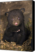 Black Bear Cubs Canvas Prints - Black Bear Ursus Americanus 7 Week Old Canvas Print by Suzi Eszterhas