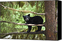 Black Bear Cubs Canvas Prints - Black Bear Ursus Americanus Cub In Tree Canvas Print by Matthias Breiter