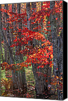 Autumn Canvas Prints - Black Birch Tree Splendor Canvas Print by Juergen Roth