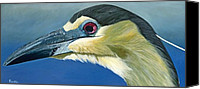 Jon Ferrentino Canvas Prints - Black Capped Night Heron Canvas Print by Jon Ferrentino