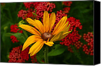Susan Canvas Prints - Black-eyed Susan and Yarrow Canvas Print by Steve Augustin