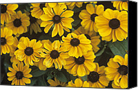 Toto Canvas Prints - Black-eyed Susan (rudbeckia Hirta toto) Canvas Print by Adrian Thomas