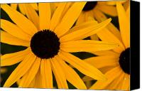 Brent L Ander Canvas Prints - Black Eyed Susans Canvas Print by Brent Ander