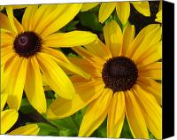 Floral Canvas Prints - Black-eyed Susans Close Up Canvas Print by Suzanne Gaff