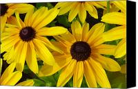 Susan Canvas Prints - Black Eyed Susans Canvas Print by Suzanne Gaff