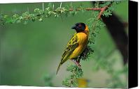 Tony Canvas Prints - Black-headed Weaver Canvas Print by Tony Beck
