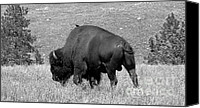 Bison Canvas Prints - Black Hills Bull Bison Canvas Print by Robert Frederick