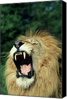 Endangered Canvas Prints - Black-maned Male African Lion Yawning, Headshot, Africa Canvas Print by Tom Brakefield