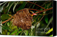 Oriole Canvas Prints - Black-naped Oriole sitting in nest Canvas Print by Louise Heusinkveld