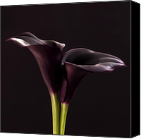 Black And White Digital Art Digital Art Canvas Prints - Black Purple Calla Flower - Study III - Flower Photograph Canvas Print by Artecco Fine Art Photography - Photograph by Nadja Drieling