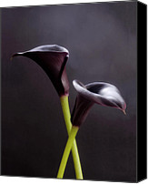 Black Framed Prints Digital Art Canvas Prints - Black Purple Calla Lilies # 1 - Macro Flowers Fine Art Photography Canvas Print by Artecco Fine Art Photography - Photograph by Nadja Drieling