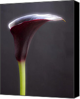 Black Framed Prints Digital Art Canvas Prints - Black Purple Calla Lilies # 2 - Macro Flowers Fine Art Photography Canvas Print by Artecco Fine Art Photography - Photograph by Nadja Drieling