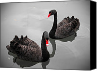 Swan Canvas Prints - Black Swan Canvas Print by Bert Kaufmann Photography