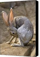 Henry Doorly Zoo Canvas Prints - Black-tailed Jackrabbit Lepus Canvas Print by Joel Sartore