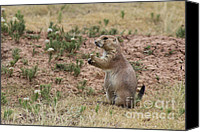Prairie Dog Photo Canvas Prints - Black tailed prairie dog Canvas Print by Adam Long