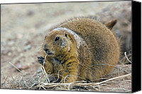 Prairie Dog Photo Canvas Prints - Black-tailed Prairie Dog Canvas Print by Bob Gibbons