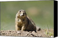Prairie Dog Photo Canvas Prints - Black-tailed Prairie Dog Cynomys Canvas Print by Rich Reid