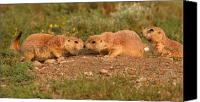 Prairie Dog Photo Canvas Prints - Black-tailed Prairie Dog Greeting Kiss Canvas Print by Max Allen