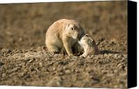Prairie Dog Photo Canvas Prints - Black-tailed Prairie Dogs In Eastern Canvas Print by Joel Sartore