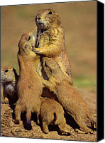 Prairie Dog Photo Canvas Prints - Black-tailed Prairie Dogs Canvas Print by Tony Beck