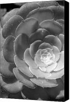 White Cacti Canvas Prints - Blackand White Cabbage Cactus Canvas Print by Amy Fose
