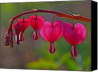 Close Up Canvas Prints - Bleeding Heart Canvas Print by Juergen Roth