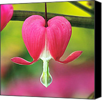 Fuchsia Canvas Prints - Bleeding Heart Canvas Print by Rona Black