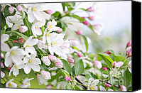 Buds Canvas Prints - Blooming apple tree Canvas Print by Elena Elisseeva