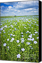 Blossoming Canvas Prints - Blooming flax field Canvas Print by Elena Elisseeva