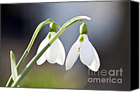 Soil Canvas Prints - Blooming snowdrops Canvas Print by Elena Elisseeva