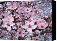 Tree Blossoms Canvas Prints - Blossoms Art Prints Nature Pink Tree Blossoms Baslee Troutman Canvas Print by Baslee Troutman Art Print Collections
