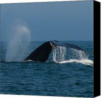 Whale Canvas Prints - Blow a fluke.. Canvas Print by Nina Stavlund