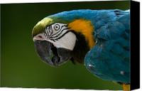Henry Doorly Zoo Canvas Prints - Blue And Yellow Macaw At The Omaha Zoo Canvas Print by Joel Sartore