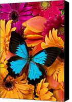 Still Life Canvas Prints - Blue butterfly on brightly colored flowers Canvas Print by Garry Gay
