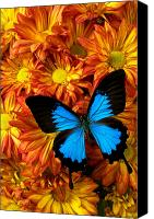 Chrysanthemums  Canvas Prints - Blue butterfly on mums Canvas Print by Garry Gay
