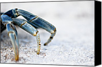 Leg Canvas Prints - Blue Crab Legs Canvas Print by Photograph By  Abi Bell
