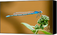 Bluet Canvas Prints - Blue Damselfly Canvas Print by Betty LaRue